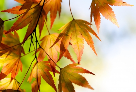 wilting: Autumn maple leaves in the sunshine Stock Photo