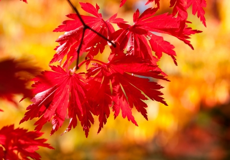 withering: Red maple leaves in sunshine