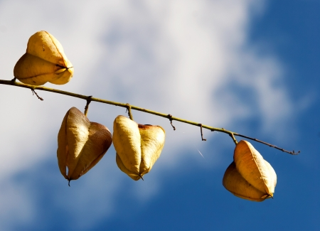 withering: Autumn dried fruits against blue sky