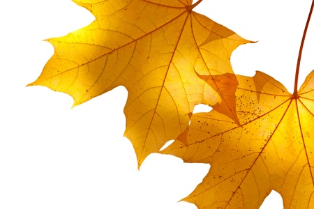 withering: Autumn maple leaves on white background (isolated)