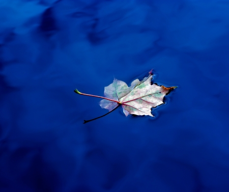 withering:  A dried autumn leaf on the water