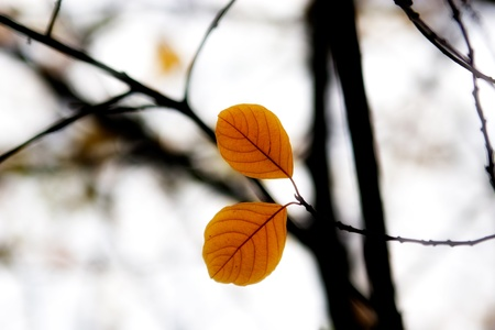 haiku:  Two autumn leaves in the forest Stock Photo