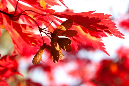 Seeds of red maple in the sunlight Stock Photo - 21223399
