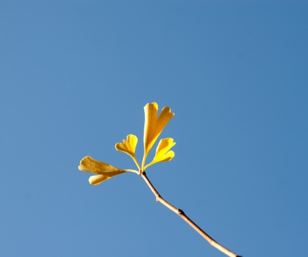 withering: Autumn Ginkgo branch against the blue sky Stock Photo