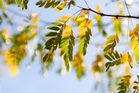 wilting: Autumn leaves  of acacia in a forest