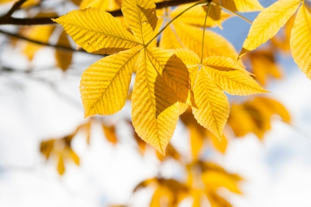Autumn leaves of chestnut  in sunshine Stock Photo - 21249715