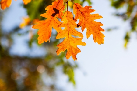 withering: Autumn oak leaves in sunshine