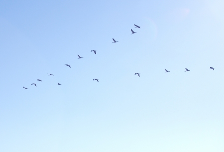 natue: A flock of cranes in the sky Stock Photo