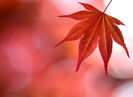 red maple leaf: A red maple leaf in forest