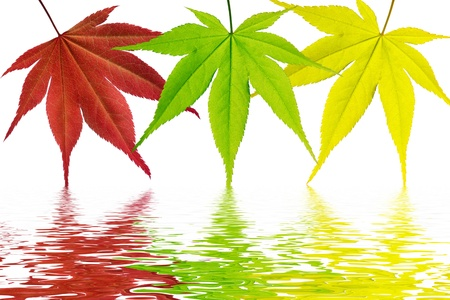 Multi-colored maple leaves on a white background