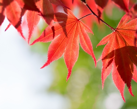 Red maple leaves in a forest Stock Photo - 21276393