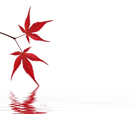 Red maple leaves on a white background touching the water
