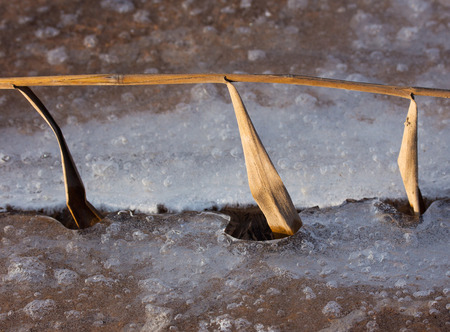Grass frozen in a ice photo