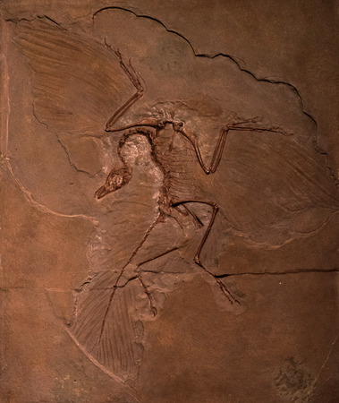 bird wing: Dinosaur fossils of Archaeopteryx in the rock Stock Photo