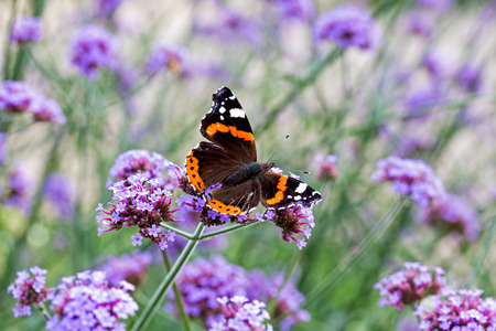 amaranthine: Butterfly on purple flowers in the sunlight Stock Photo