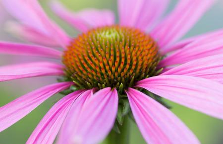 Purple flower in the garden in macro