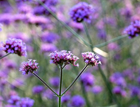 amaranthine: Purple flowers in the meadow in the sunlight