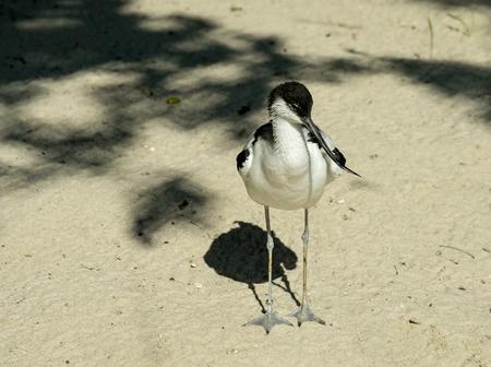 srokaty: The bird pied avocet on the sand in sunlight
