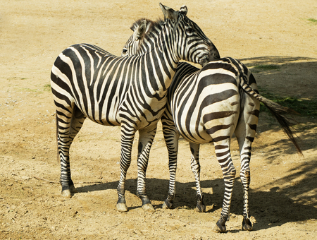 love affair: Two zebras in a zoo in Germany
