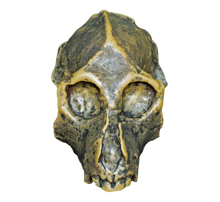 The skull of Dryopithecus ancient ape on the white background