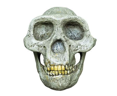 De schedel van Australopithecus africanus uit Afrika op de witte achtergrond Stockfoto