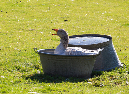 Domestic goose in a basin of water on the farmyard
