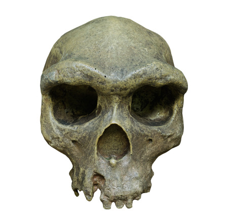 sapiens: The skull of Homo erectus on the white background