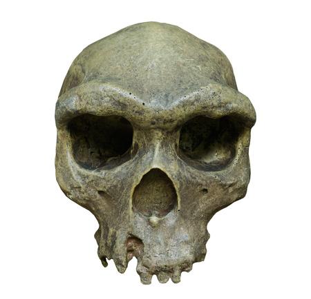The skull of Homo erectus on the white background