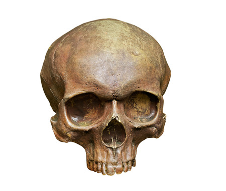 homo erectus: The skull of Homo sapiens sapiens on the white background