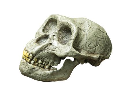 Le crâne d'Australopithecus africanus de l'Afrique sur le fond blanc