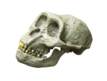 homo erectus: The skull of Australopithecus africanus from Africa on the white background Stock Photo