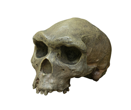 homo erectus: The skull of Homo erectus on the white background