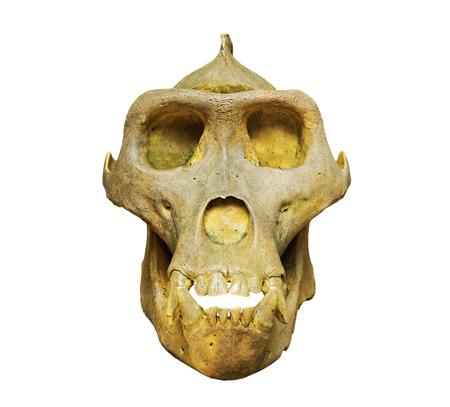 anthropoid: The skull of gorilla on the white background Stock Photo