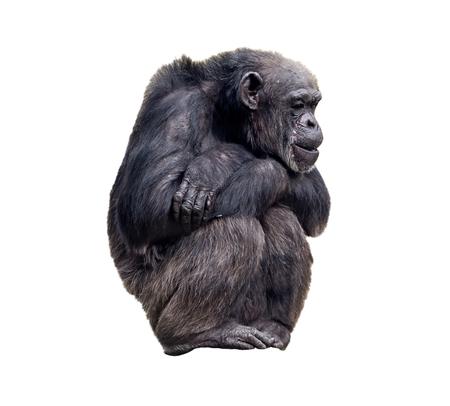 anthropoid: Sitting chimpanzee on the white background, isolated