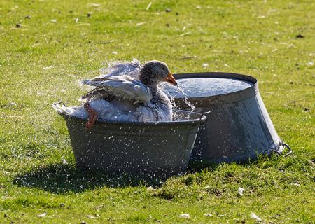 farmyard: Domestic goose in a basin of water on the farmyard