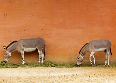 somali: Two Somali wild donkeys near the wall in a zoo