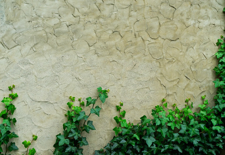 ivy wall: The old plaster of the wall and green ivy