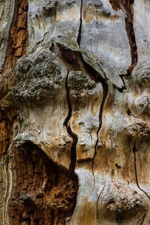 Die alte und moder Rinde eines Baumes