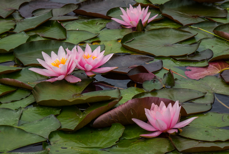 The water lilies in a old pond. Stock Photo