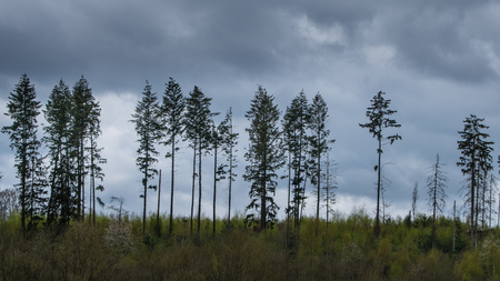 The landscape of pine-trees in a forest.
