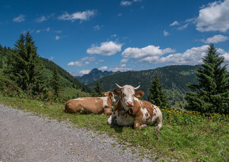 The cows in mountains in Tyrol, Bavaria .
