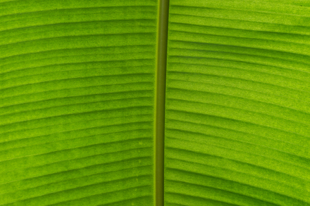 The background and texture of a green leaf . Banque d'images