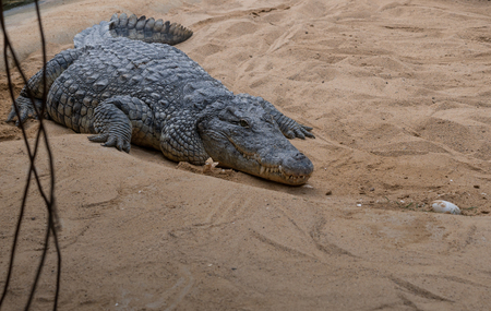 The crocodile on a sand zoological garden .