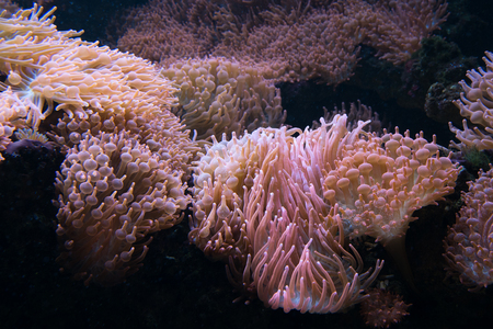 The sea anemone on a rock, underwater .