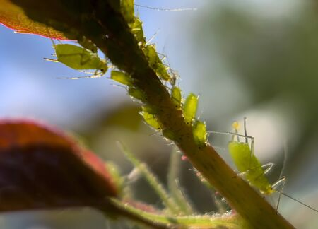 Macro photography. Different sizes aphids swarm gathering on a fresh spring rose leaf. Soft selective focus.