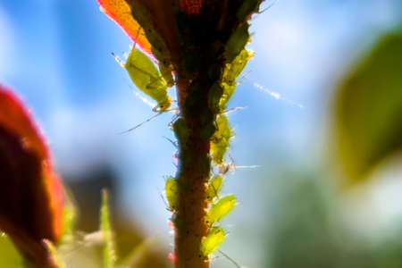 Macro photography. Different sizes aphids swarm gathering on a fresh spring rose leaf. Stock Photo