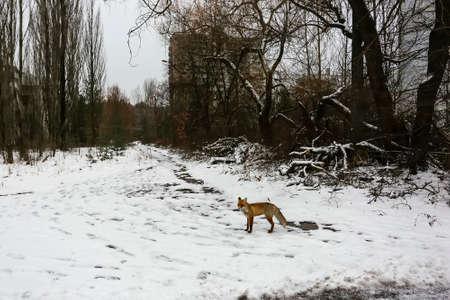 Wild fox walks in deserted ghost city of Pripyat, near Chernobyl nuclear power plant, Prypiat, Ukraine,