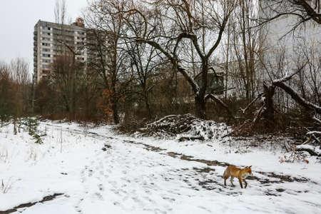 Wild fox walks in deserted ghost city of Pripyat, near Chernobyl nuclear power plant, Prypiat, Ukraine, Imagens - 150733361