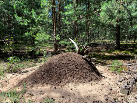 Large forest anthill with wild ants in summer forest. Ukraine. Stock Photo