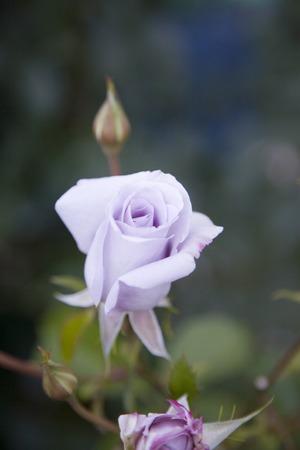 아름다운 라벤더 장미